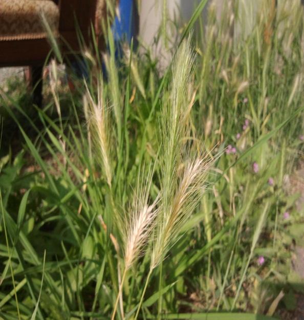 summer warning  spear grass